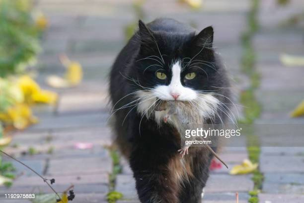 portrait of a cat with a dead mouse - hunting stock pictures, royalty-free photos & images