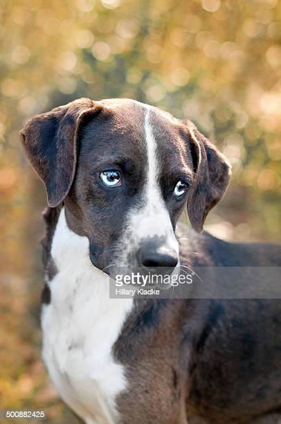 portrait of a catahoula - catahoula leopard dog stock pictures, royalty-free photos & images