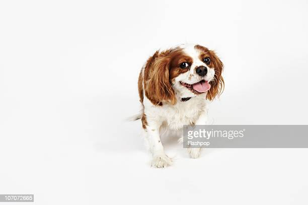 portrait of a cavalier king charles spaniel - cavalier king charles spaniel stock pictures, royalty-free photos & images