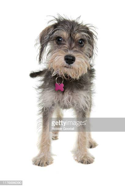 portrait of a cavalier king charles spaniel/schnauzer mix puppy looking at the camera sitting in front of a white backdrop - mixed breed dog stock pictures, royalty-free photos & images