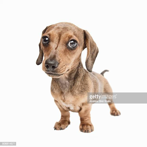 Portrait of a characterful Dachshund puppy