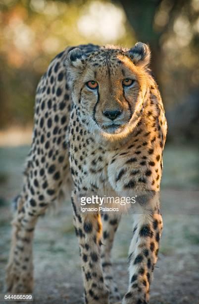 Portrait of a cheetah Acinonyx jubatus