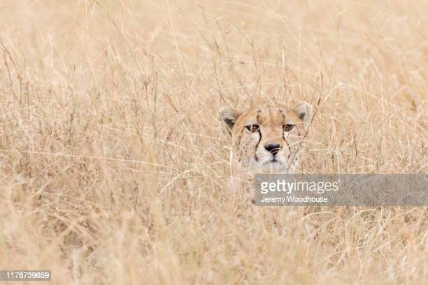 Portrait of a Cheetah Camouflaged in Tall Grass