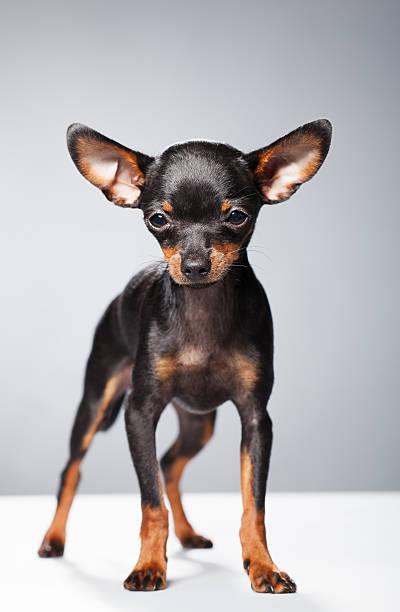 Portrait of a Chihuahua