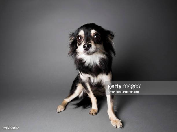 Portrait of a Chihuahua-Papillon Mix - The Amanda Collection