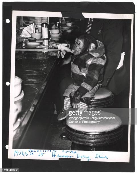 Portrait of a chimpanzee eating a banana on a stool at the counter of Hanson's Drug Store New York New York twentieth century The chip is identified...