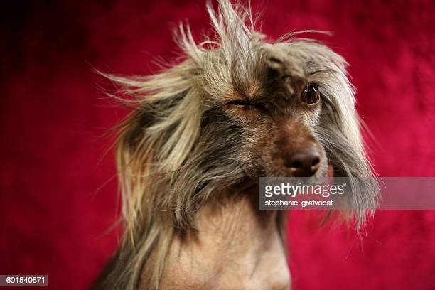portrait of a chinese crested dog winking - chinese crested dog stock photos and pictures