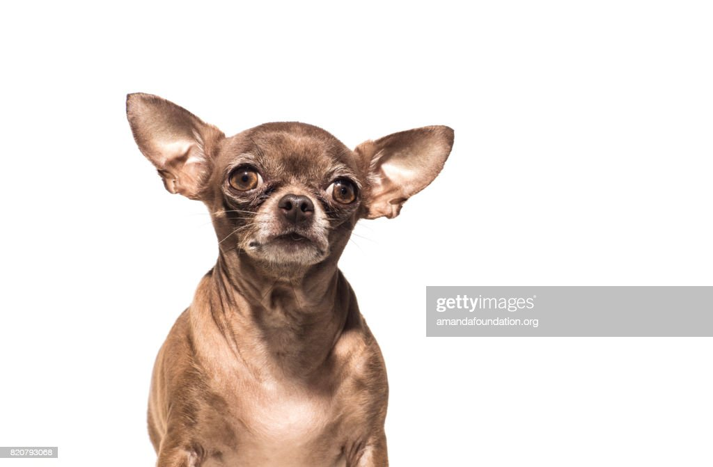 Front view of 'Rosie,' a chocolate Chihuahua looking at the camera on a white background. By using this photo, you are supporting the Amanda Foundation, a nonprofit organization that is dedicated to helping homeless animals find permanent loving homes.