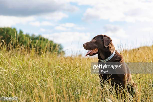 portrait of a chocolate labrador in the countryside - 犬 ストックフォトと画像