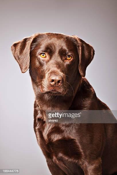 Retrato de Labrador Chocolate
