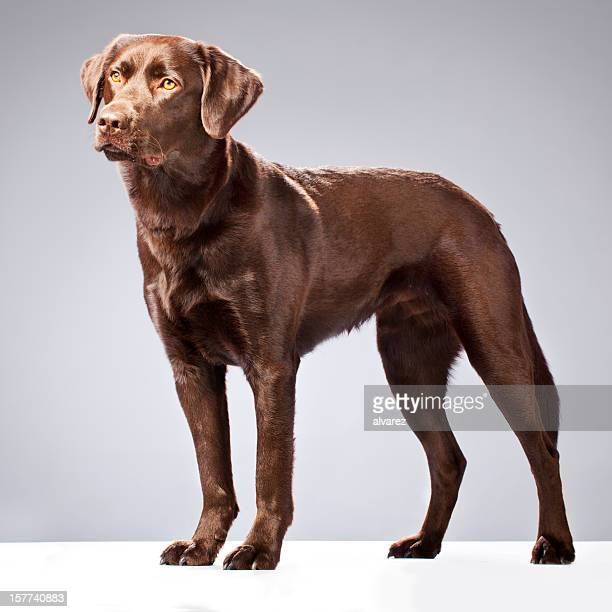 Portrait of a Chocolate Labrador