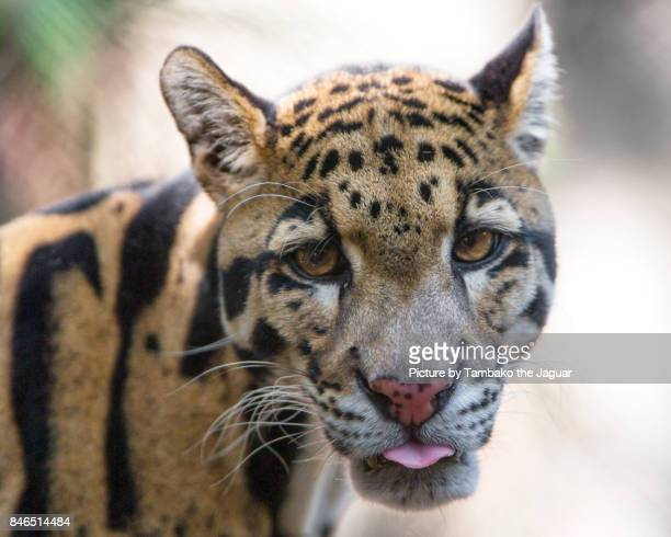 portrait of a clouded leopard - clouded leopard stock photos and pictures
