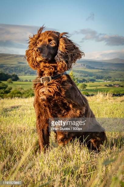 portrait of a cocker spaniel sitting on a grass - cocker spaniel stock pictures, royalty-free photos & images
