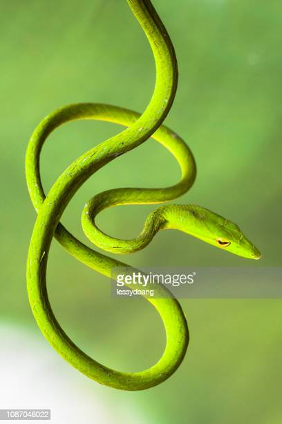 313 Hanging Snake Photos And Premium High Res Pictures Getty Images