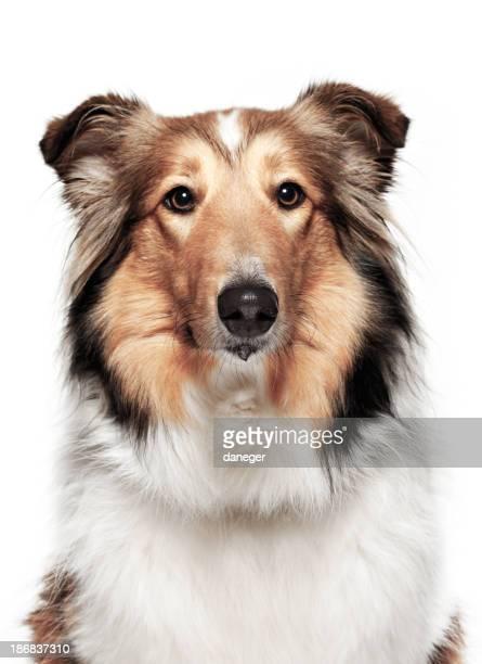 Perro Retrato-Collie