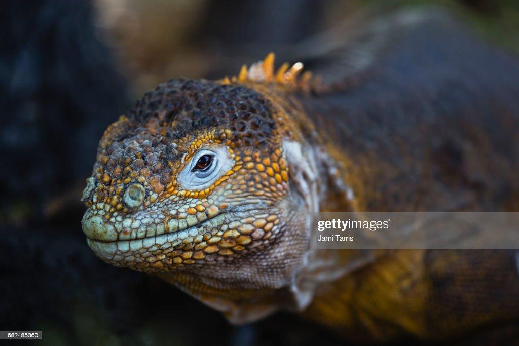 A portrait of a colorful Land Iguana : Stock Photo