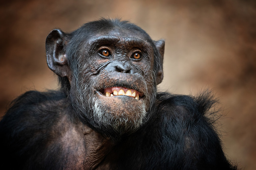 Portrait of a common chimpanzee 1079138444