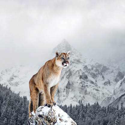 Portrait of a cougar, mountain lion, puma, panther, striking a pose on a fallen tree, winter mountains 962970182