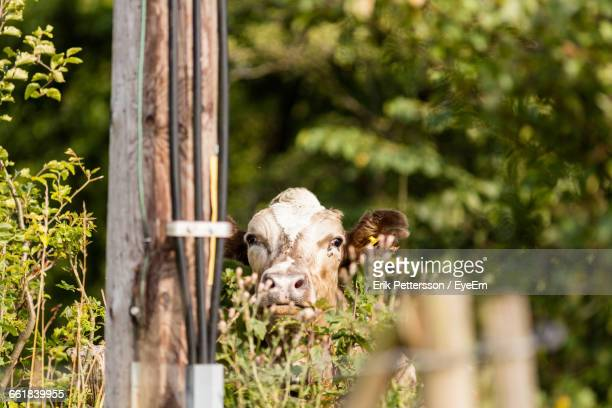 Portrait Of A Cow Against Blurred Trees