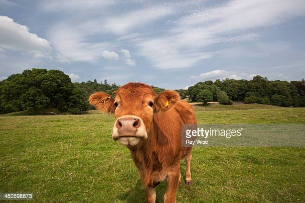 CONTENT] A portrait of a cow as it enjoys the summer sun in the Lake District Cumbria