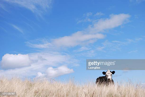 Portrait of a Cow, New Zealand