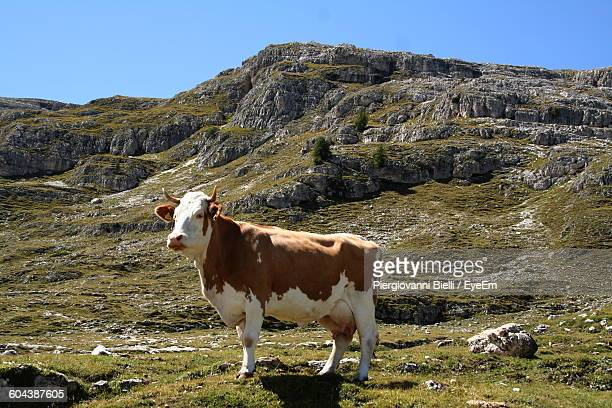 Portrait Of A Cow Standing On Landscape