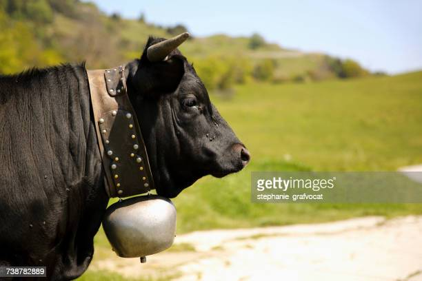 Portrait of a cow wearing a bell, Switzerland
