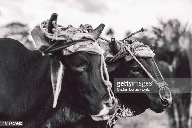 portrait of a cows - bortes stock pictures, royalty-free photos & images