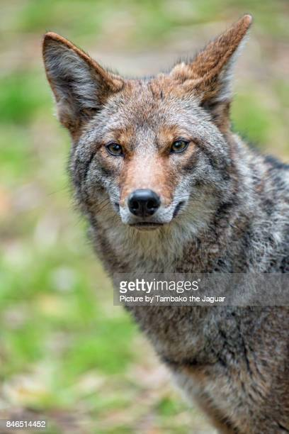 portrait of a coyote - coyote stock pictures, royalty-free photos & images