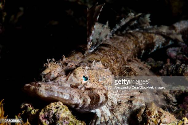 Portrait of a crocodilefish (Cymbacephalus beauforti).