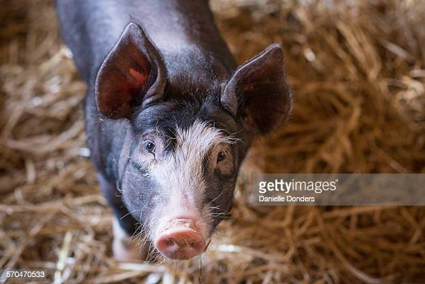"""portrait of a curious pig in a barn - """"danielle donders"""" stock pictures, royalty-free photos & images"""