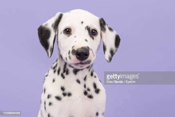 portrait of a cute black and white dalmatian puppy dog on a lavender purple background - puppies stock pictures, royalty-free photos & images