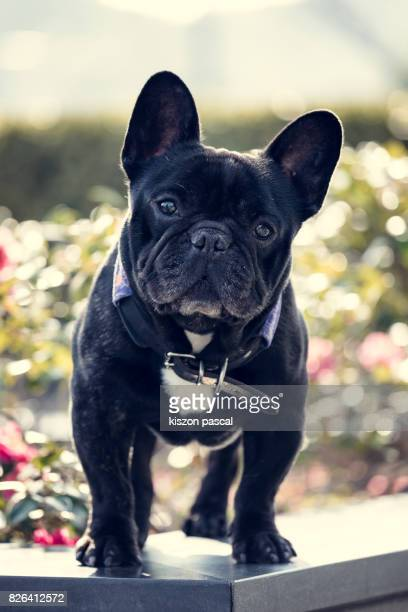 portrait of a cute black french bulldog in day
