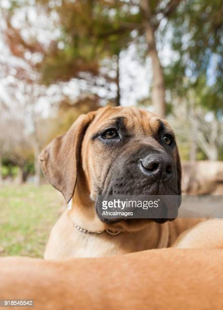 Portrait of a cute boerboel puppy in the park.