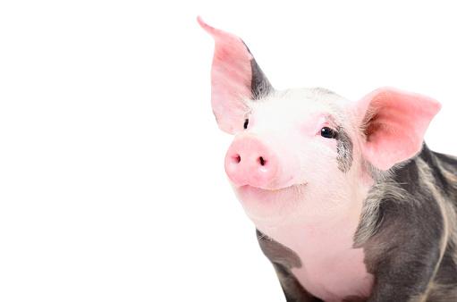 Portrait of a cute cheerful pig 1097009942