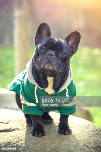 portrait of a cute french bulldog in park during a sunny day - bulldog frances imagens e fotografias de stock