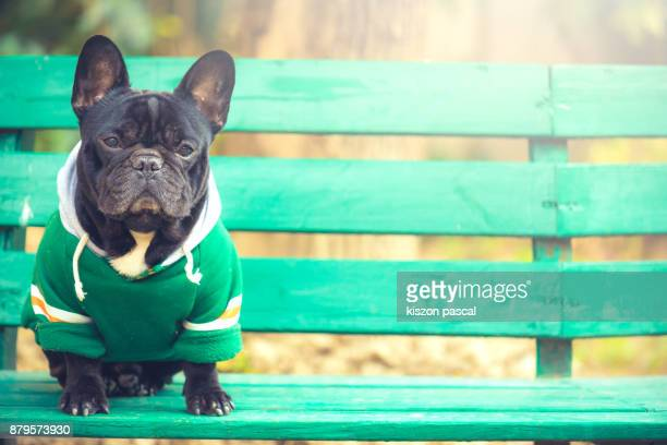 portrait of a cute french bulldog with sunlight - pet clothing stock pictures, royalty-free photos & images