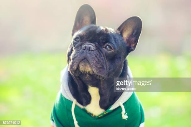 portrait of a cute french bulldog with sunlight - bulldog frances imagens e fotografias de stock
