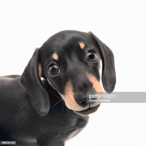 Portrait of a cute pedigree Dachshund puppy posing against a white background
