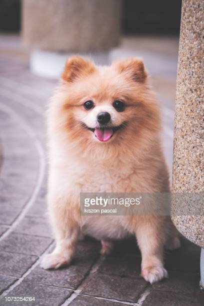 portrait of a cute pomeranian dog in street - pomeranian stock photos and pictures