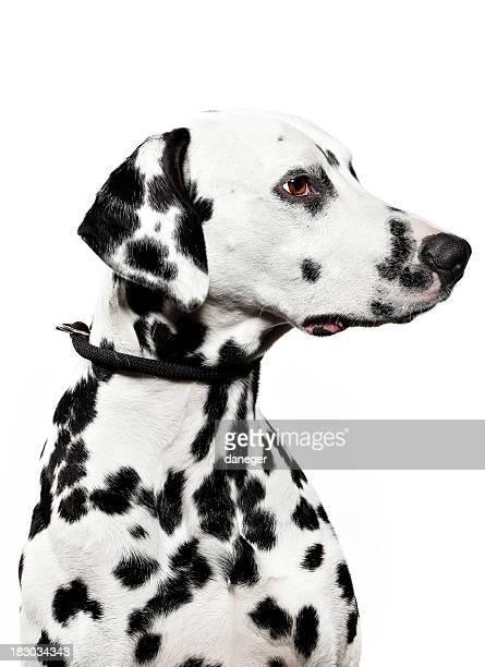 retrato de um cão da dalmácia - dalmata imagens e fotografias de stock