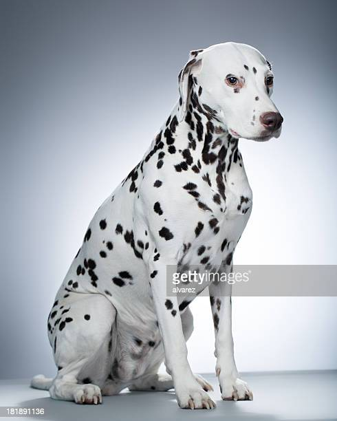 Portrait of a Dalmatian