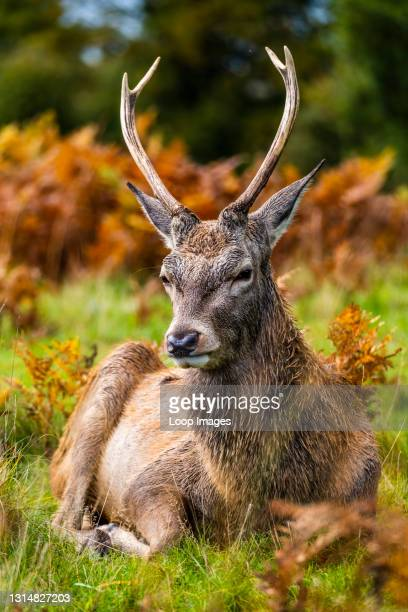 Portrait of a deer in Richmond park in London.