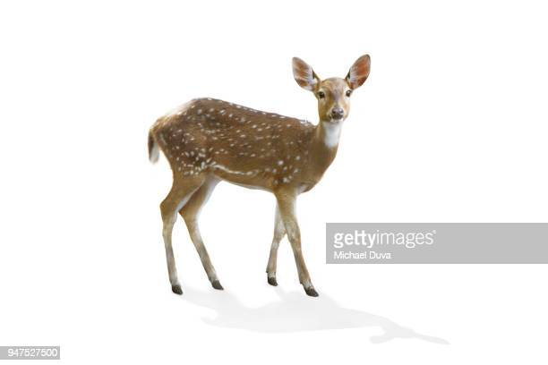 portrait of a deer on white background - white tail deer stock photos and pictures