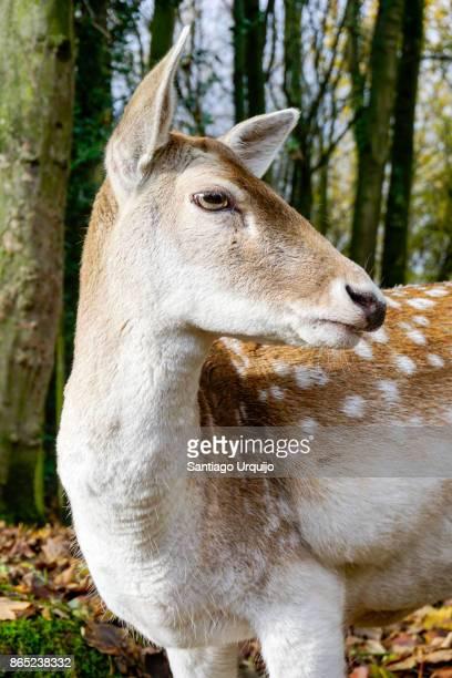portrait of a deer - femmina di daino foto e immagini stock