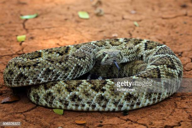 portrait of a diamondback rattlesnake - diamondback rattlesnake stock pictures, royalty-free photos & images