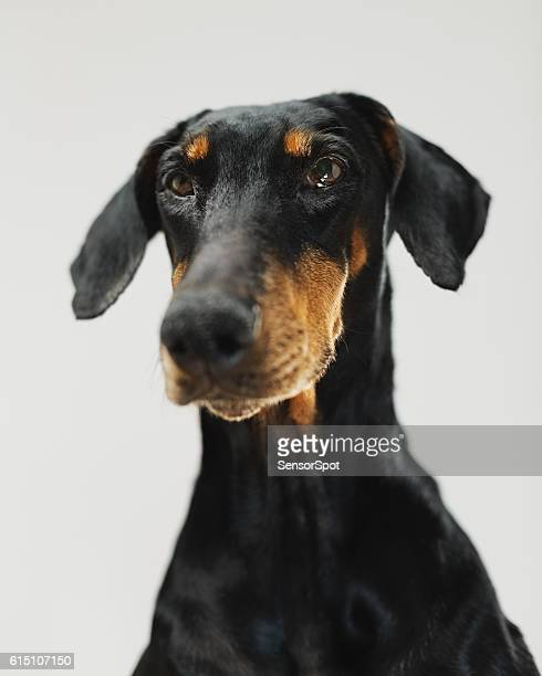 Portrait of a doberman dog