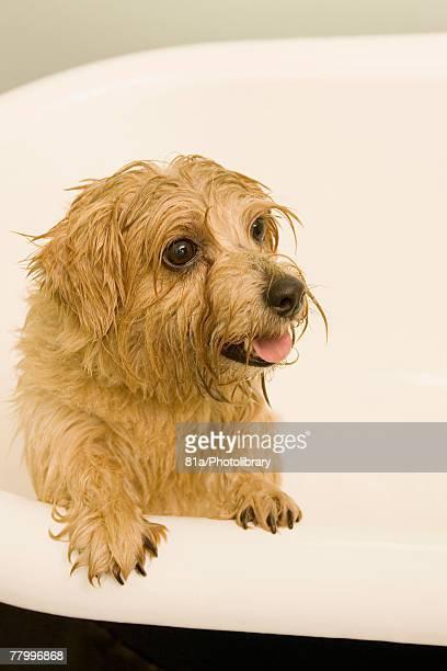 portrait of a dog in a bath - norfolk terrier photos et images de collection