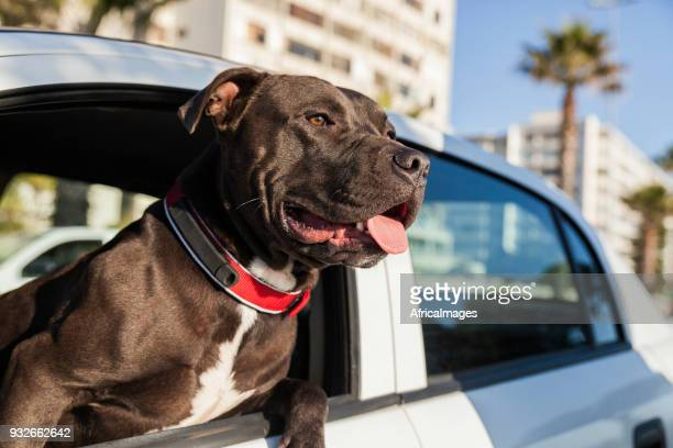 Portrait of a dog leaning his head out of a car window.