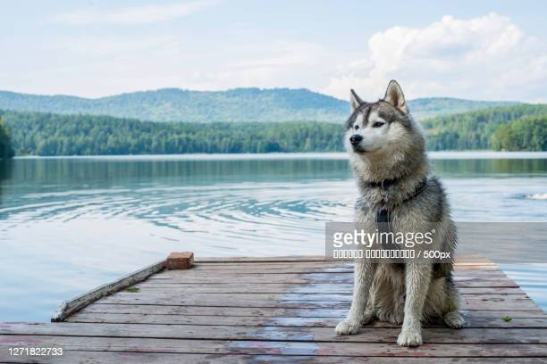 portrait of a dog on a dock, kasli, russia - husky dog stock pictures, royalty-free photos & images